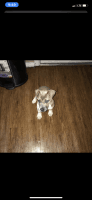 American Bully Puppies for sale in New Orleans, LA, USA. price: NA