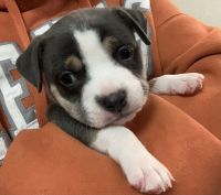 American Bully Puppies for sale in Palm Bay, FL, USA. price: NA