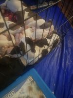 American Bully Puppies for sale in Alhambra, CA, USA. price: NA