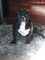 American Bully Puppies for sale in Flint Twp, MI, USA. price: NA