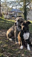 American Bully Puppies for sale in Collins, MS 39428, USA. price: NA