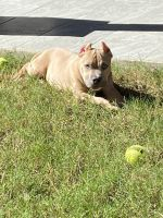 American Bully Puppies for sale in Lawrenceville, GA, USA. price: NA