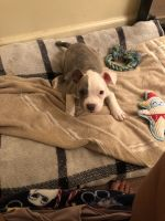 American Bully Puppies for sale in Akron, OH, USA. price: NA