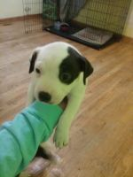 American Bully Puppies for sale in Park City, KY 42160, USA. price: NA