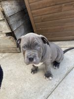 American Bully Puppies for sale in Tracy, CA 95377, USA. price: NA