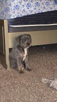 American Bully Puppies for sale in Sunrise, FL, USA. price: NA