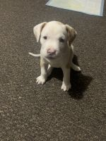American Bully Puppies for sale in Chicago, IL, USA. price: NA