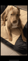 American Bully Puppies for sale in Hercules, CA, USA. price: NA