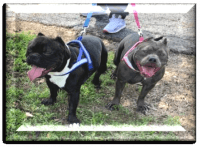 American Bully Puppies for sale in Bellmead, TX 76705, USA. price: NA