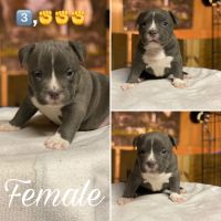 American Bully Puppies for sale in Knoxville, TN, USA. price: NA