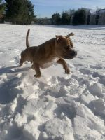 American Bully Puppies for sale in Dayton, NJ 08810, USA. price: NA
