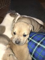 American Bully Puppies for sale in East Sparta, OH, USA. price: NA