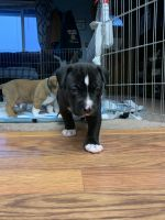 American Bully Puppies for sale in Anchorage, AK, USA. price: NA