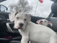 American Bully Puppies for sale in Grand Prairie, TX, USA. price: NA