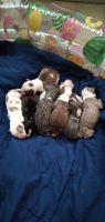 American Bully Puppies for sale in Kennett, MO 63857, USA. price: NA