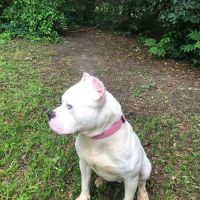 American Bully Puppies for sale in Columbia, MD, USA. price: NA
