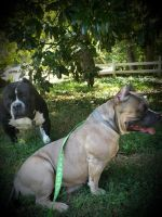 American Bully Puppies for sale in Statesville, NC, USA. price: NA
