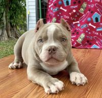 American Bully Puppies for sale in Miami, FL, USA. price: NA