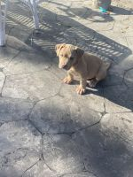 American Bully Puppies for sale in Hollywood, FL, USA. price: NA