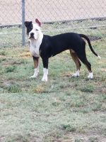 American Bully Puppies for sale in Colby, KS 67701, USA. price: NA