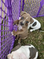 American Bully Puppies for sale in Fort Lauderdale, FL 33314, USA. price: NA