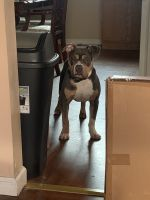 American Bully Puppies for sale in Buffalo, NY, USA. price: NA