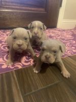 American Bully Puppies for sale in Mansfield, TX, USA. price: NA