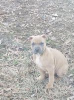 American Bully Puppies for sale in Lowell, NC 28098, USA. price: NA