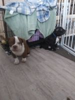 American Bully Puppies for sale in Waltham, MN 55982, USA. price: NA