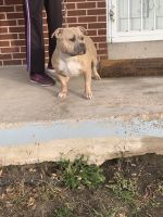 American Bully Puppies for sale in Colorado Springs, CO, USA. price: NA