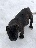 American Bully Puppies for sale in Murfreesboro, TN 37130, USA. price: NA