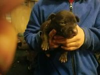 American Bully Puppies for sale in 9 Alden Pl, Millbrook, NY 12545, USA. price: NA
