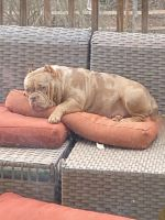 American Bully Puppies for sale in Flowery Branch, GA, USA. price: NA