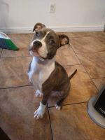 American Bully Puppies for sale in El Paso, TX, USA. price: NA