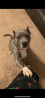 American Bully Puppies for sale in King, NC, USA. price: NA