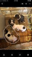 American Bully Puppies for sale in Norwalk, CA, USA. price: NA