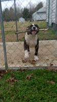 American Bully Puppies for sale in Sutherland, VA 23885, USA. price: NA