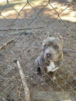 American Bully Puppies for sale in Macon, GA, USA. price: NA