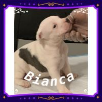 American Bully Puppies for sale in Stone Mountain, GA 30088, USA. price: NA