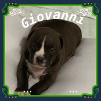 American Bully Puppies for sale in Lithonia, GA 30058, USA. price: NA