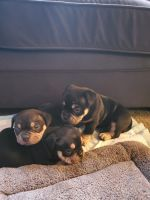 American Bully Puppies for sale in San Jose, CA, USA. price: NA