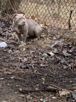 American Bully Puppies for sale in Silver Spring, MD, USA. price: NA