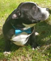 American Bully Puppies for sale in Brooksville, FL 34601, USA. price: NA