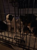American Bully Puppies for sale in Adelanto, CA, USA. price: NA