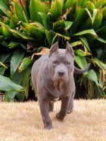 American Bully Puppies for sale in Helena, AL, USA. price: NA