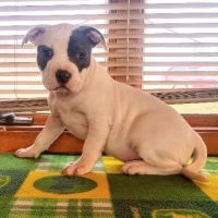 American Bully Puppies for sale in St Joe, IN 46785, USA. price: NA