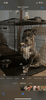 American Bully Puppies for sale in Whitehall, OH 43213, USA. price: NA