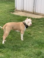American Bully Puppies for sale in Wauseon, OH 43567, USA. price: NA