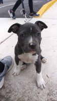 American Bully Puppies for sale in Snellville, GA 30039, USA. price: NA