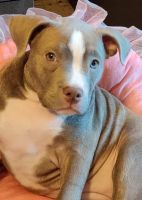 American Bully Puppies for sale in New York, NY, USA. price: NA
